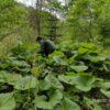 北海道の山菜、快適に捕食する知恵